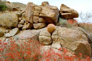 Anza Borrego Park in bloom—Caroline Helbig