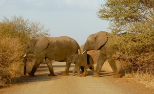 Elephant crossing near Kruger Park's Lower Sabie Camp