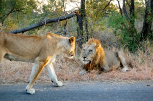 Lion sighting just minutes from Kruger Park's Crocodile Bridge Gate.
