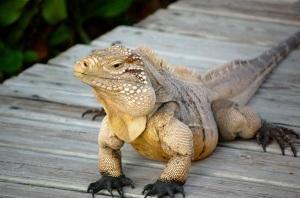 Little Cayman Island iguana—Caroline Helbig