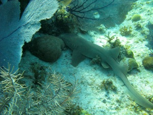 Nurse Shark at Little Cayman Bloody Bay Marine Park—Caroline Helbig