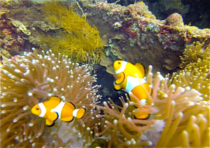 Anemonefish (Clownfish) on the Morazan deck.