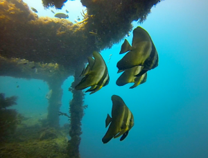 School of Batfish.