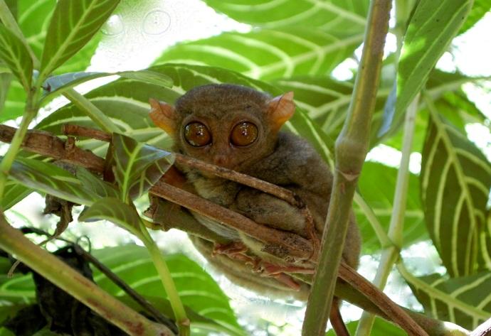 Bohol tarsier—C.Helbig