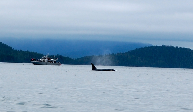 Seeing an orca in relation to a boat makes you realize the enormous size of these creatures—C.Helbig