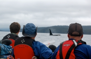 A captivating moment with the orcas in Blackfish Sound—C.Helbig