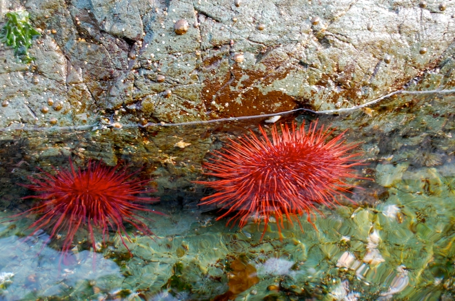 These beautiful urchins also make a tasty snack—C.Helbig