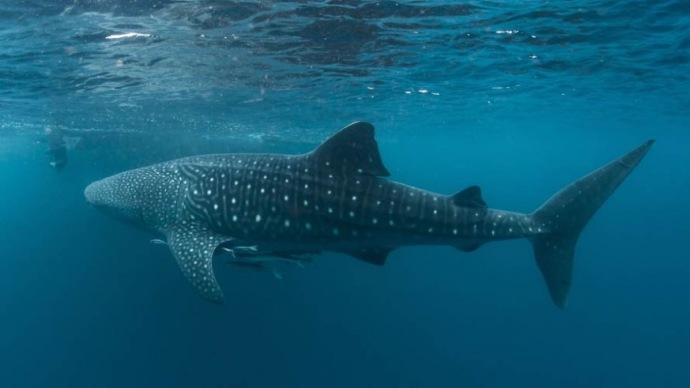 whale-shark02_0