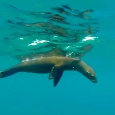 Los Islotes sea lion—Ruben Sandoval, David Oguey
