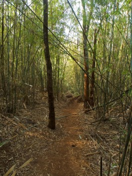 Bamboo forest on trail to viewpoint—C.Helbig
