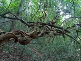 Beautiful twisted vines along the trail—C.Helbig
